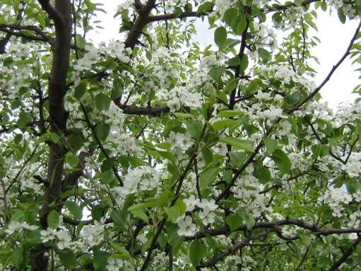 Груша лада обильно цветет каждый год